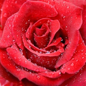600px-Raindrops_red_rose
