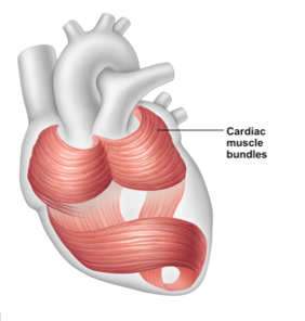 heart muscle knot