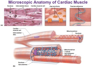 microscopic-anatomy-of-cardiac-muscle-sarcolemma-fasciae-adherens-intercalated-discs-gap-junctions-t-tubules