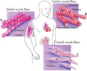 tessuto_muscolare