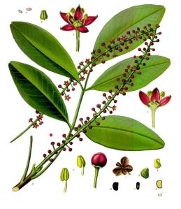 Pilocarpus_pennatifolius_-_Köhler–s_Medizinal-Pflanzen-238
